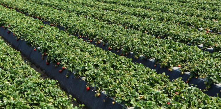 como-plantar-morango-orgânico-plantação-de-morango-760x375